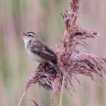 Sedge Warbler Loch Spynie 15 May 2014 Grahame Anderson