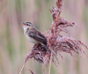 Sedge Warbler, Loch Spynie 15 May 2014 (Grahame Anderson)