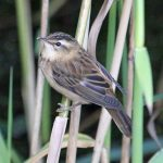 Sedge Warbler Loch Spynie 17 Aug 2017 Gordon Biggs