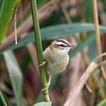 Sedge Warbler Loch Spynie 29 Aug 2014 Gordon Biggs