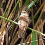 Sedge Warbler, Loch Spynie 3 Aug 2016 (Gordon Biggs)