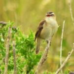 Sedge Warbler Tugnet 17 Jun 2017 Valerie Sheach Leith