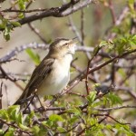 Sedge Warbler, Tugnet 9 May 2015 (Richard Somers Cocks)