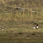 Shelduck Lossie estuary 16 Apr 2014 David Main