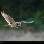 Short eared Owl Chapelton Forres 13 Oct 2015 John Shackleton P