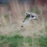 Short eared Owl Chapelton wetland 8 May 2016 John Shackleton P