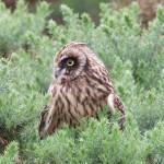 Short eared Owl Netherton 18 Jul 2015 Richard Somers Cocks 2