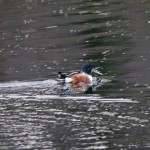 Shoveler Loch Oire 1 Feb 2013 Tony Backx