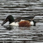Shoveler Loch Oire 10 Feb 2013 Gordon Biggs 1