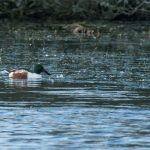 Shoveler Loch Oire 18 Jan 2017 David Main P