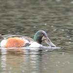 Shoveler Loch Oire 8 Feb 2013 David Main