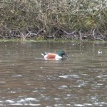 Shoveler Loch Oire 9 Mar 2014 Richard Somers Cocks