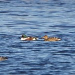 Shoveler Loch Spynie 23 Nov 2014 Richard Somers Cocks
