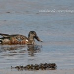 Shoveler Lossie estuary 16 Feb 2016 David Devonport