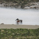 Shoveler Spey estuary 6 Apr 2014 Martin Cook
