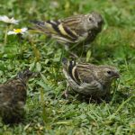 Siskins Lossiemouth 11 May 2017 Margaret Sharpe