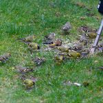 Siskins Nairn 22 Mar 2017 Chris James
