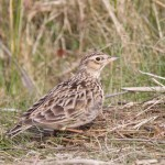 Skylark, Findhorn Bay 12 Apr 2016 (Richard Somers Cocks) P