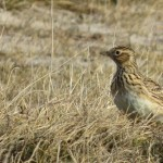 Skylark, Kingsteps 5 Mar 2015 (Alison Ritchie)
