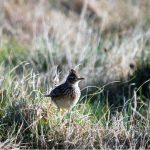 Skylark Kinloss 14 Mar 2017 Allan Lawrence