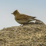 Skylark Lossiemouth 5 Apr 2014 David Main