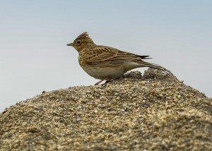 Skylark, Lossiemouth 5 Apr 2014 (David Main)