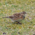 Skylark Spey Bay 20 Feb 2017 Gordon Biggs P
