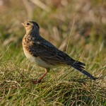 Skylark Tronach Head 12 Mar 2014 Gordon Biggs