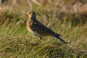 Skylark, Tronach Head 12 Mar 2014 (Gordon Biggs)