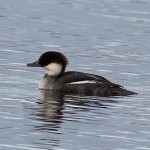 Smew Loch Spynie 31 Jan 2013 Gordon Biggs