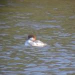 Smew Loch na Bo 16 Mar 2014 Martin Cook