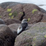 Snow Bunting Ben Macdui 27 May 2014 Robert Ince 3