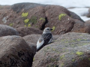 Snow Bunting, Cairngorms 27 May 2014 (Robert Ince) 3