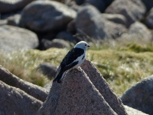 Snow Bunting, Cairngorms 30 May 2014 (Robert Ince) 2