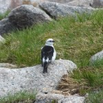 Snow Bunting Cairngorms 24 June 2014 Martin Cook P