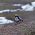 Snow Bunting Cairngorms 6 June 2014 Robert Ince