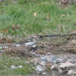 Snow Bunting Findhorn 20 copy