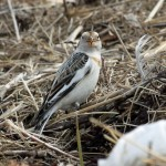Snow Bunting Lossie estuary 10 Apr Gordon Biggs 1