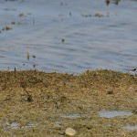 Snow Bunting Lossie estuary 10 Apr Gordon Biggs 2