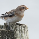 Snow Bunting, Lossie estuary 7 Mar 2015 (Mike Crutch)