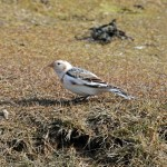 Snow Bunting Lossie estuary 9 Apr Gordon Biggs 1