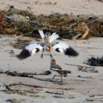 Snow Buntings Lossie estuary 4 Dec 2013 Gordon Biggs