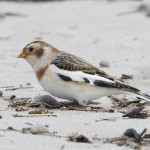 Snow Buntings Nairn east beach 2 Feb 2013 Richard Somers Cocks 1