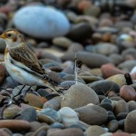 Snowbunting Findhorn 29 Oct 2013 David Main