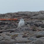Snowy Owl Ben Macdui 19 May 2014 Robert Ince 7