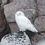Snowy Owl Ben Macdui 3 Sept 2014 Richard Somers Cocks 3