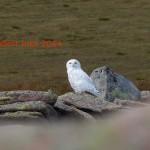 Snowy Owl Ben Macdui 5 Aug 2014 Robert Ince 9