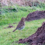 Song Thrush Cummingston 29 Dec 2013