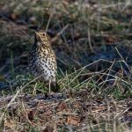 Song Thrush Elgin 30 Jan 2017 David Main P
