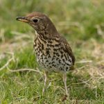 Song Thrush Lossie estuary 3 May 2017 David Main P